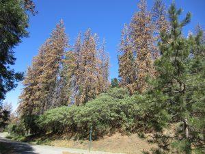 Dead trees a potential road hazard