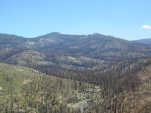 Rough Fire ate up this forest