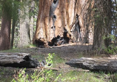 Rough Fire licked the Sequoia Giant at its base