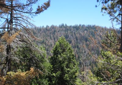 Sierra National Park mountain with bark-beetle infested trees