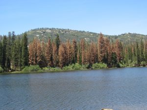 Stand of dead or dying trees from bark beetle plague