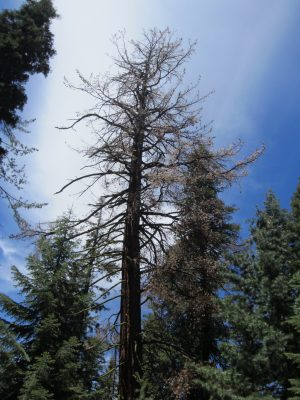 Coniferous tree with bark-beetles a hazard for other trees