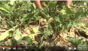 Bokchoy wilt in desert like heat